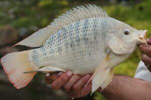 ویژگی های ماهی تیلاپیا